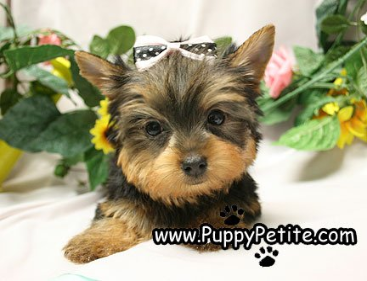 Phone: 718-236-2635 Email: puppypetite@aol.com Address: 8002 17th Ave ...